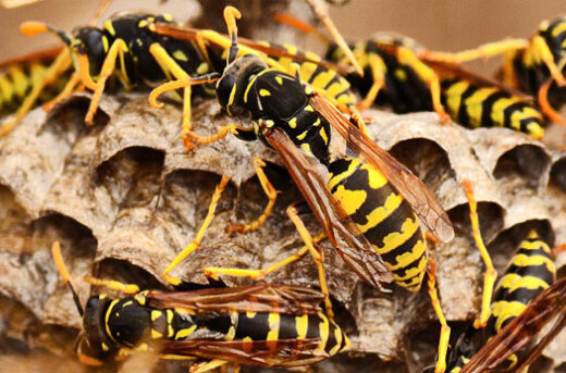 How to Safely Use Wasp and Hornet Spray